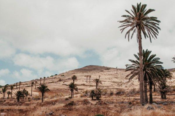 Palmen Lanzarote -  -